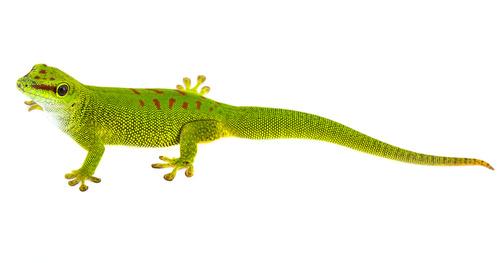 Grüner Taggecko